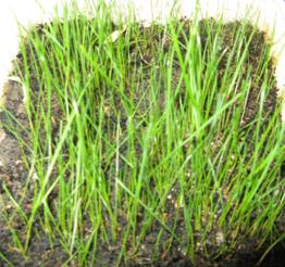 Appearance of seedlings lawn grass on tailings treated by developed compositions
